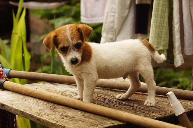 malý psík